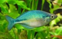 Blue rainbow fish