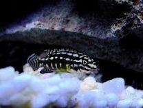 Julidochromis marlieri.