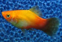 Xiphophorus maculatus gold / Platy goud