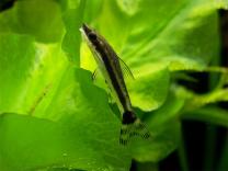 pantser meerval otocinclus affinis