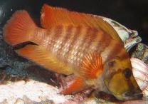 Lamprologus compressiceps red fin