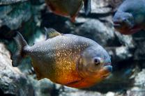 Roodbuik piranha