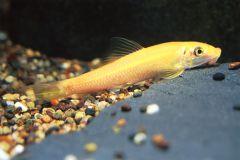 Siamese Algeneter goud / Gyrinocheilus aymonieri gold