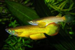 Aplocheilus Lineatus gold