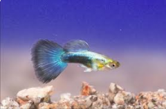 Guppy man israel metalic blue neon