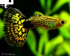 Guppy man israel green cobra