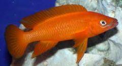 Lamprologus leleupi orange