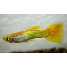 Guppy man micariff yellow