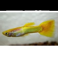 Guppy man micariff yellow