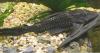Hypostomus Plectomus