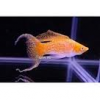 Oranje neon sluier molly